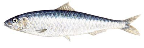 cuisiner saumon sardine marine stewardship council
