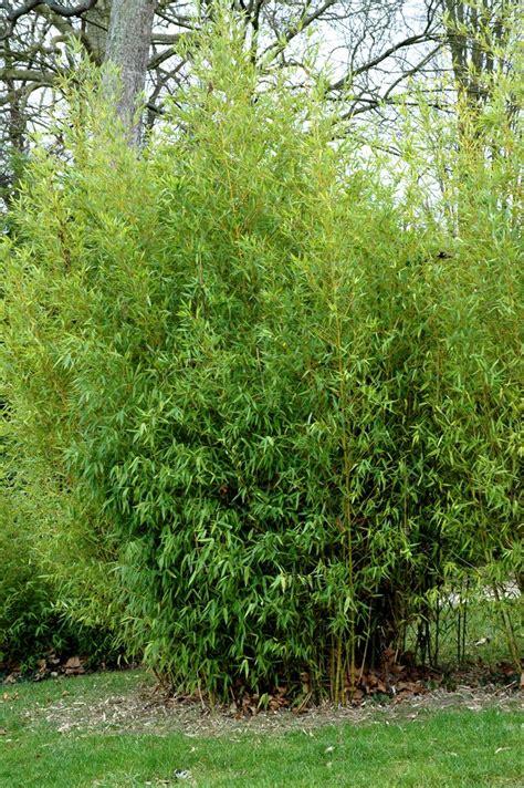 tailler bambou en pot bambou cultiver et tailler ooreka