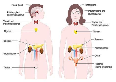 endocrine  hormonal system hormones australia