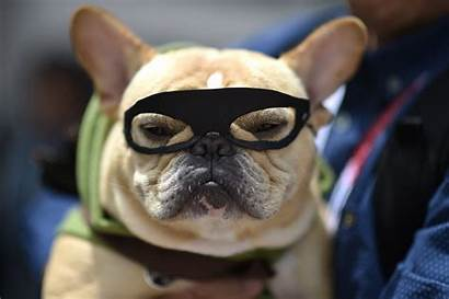 French Bulldog Goggles Bears Independent Chase Jewels