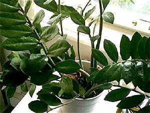 Robuste Zimmerpflanzen Groß : besonders robuste zimmerpflanzen wien magazin ~ Sanjose-hotels-ca.com Haus und Dekorationen