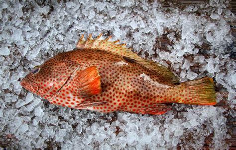 grouper strawberry fish seafood markets hook ups hands three edible florida eat maczek peter