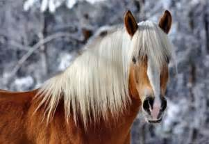 haflinger  winter fc horses animals background