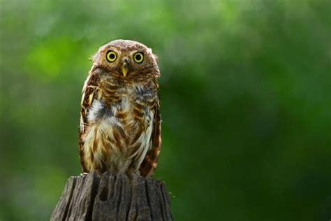 The 25+ Best Owl Facts Ideas On Pinterest