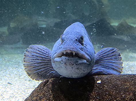 atlantic wolffish anarhichas lupus  video