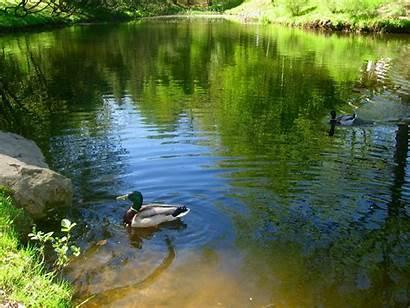 Pond Duck Ducks Nature Lake Water Sediment