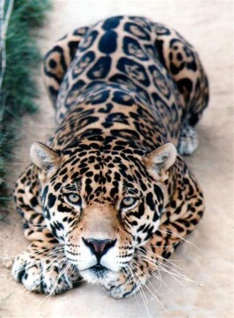 jaguar cat fantastic spotted jaguar gorgeous big cats
