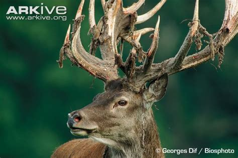 red deer photo cervus elaphus a22536 arkive