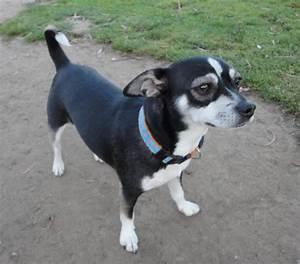 Rat-cha (Rat Terrier X Chihuahua Mix) Info, Temperament ...