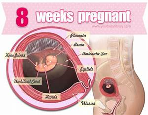 At 8 Weeks  Your Baby Is Is About The Size Of A Kidney