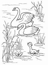 Coloring Swan Scene Water sketch template