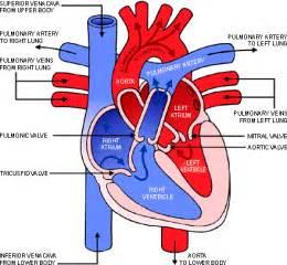 Heart Diagram Blood Flow Through