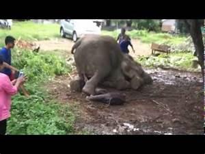 Elephant being born at Baan Chang Thai Elephant Camp, Koh ...