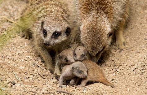 meerkat triplets born  adelaide zoo