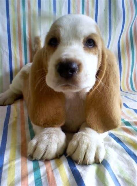 Lemon Basset Hound Puppy