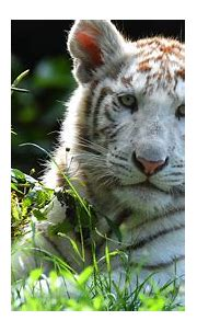 Animal White Tiger 4K HD Tiger Animals Wallpapers | HD ...