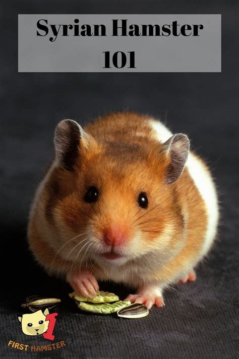 They have become established as popular small house pets. Syrian Hamster 101 - Breed Info And Care Sheet