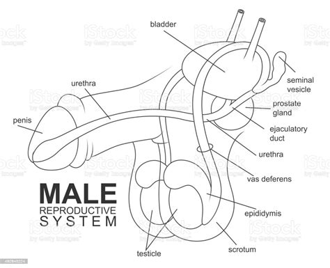 Human anatomy is the study of the shape and form of the human body. Male Reproductive System Stock Illustration - Download Image Now - iStock