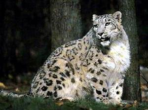 Southern snow leopard (Panthera uncia uncioides) //Genus ...