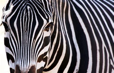 Download Animal Zebra Wallpaper 1935x1249