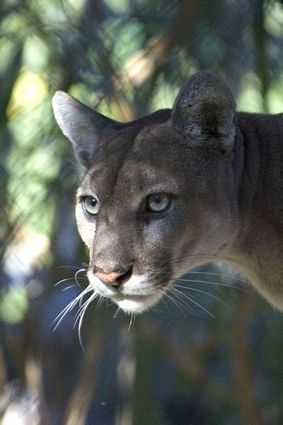 big cat party  annual florida panther festival