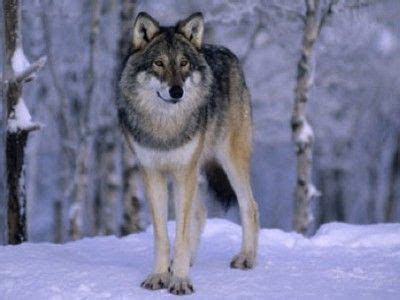 Coniferous Forest Wolves