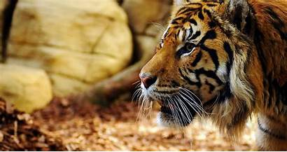 Animal 4k Tiger Ultra Profile Face Desktop