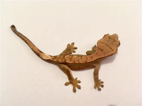 Crested Gecko Shedding Signs by Crested Gecko Hatchlings For Sale Exeter Pets4homes