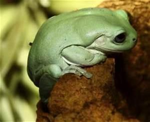 Frosch Als Haustier : welches ist eure lieblingsamphibie seite 2 allmystery ~ Buech-reservation.com Haus und Dekorationen