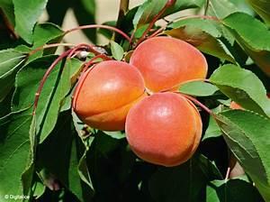 Quel Arbre Planter Près D Une Maison : 1 quels arbres fruitiers planter mon jardin ma maison ~ Dode.kayakingforconservation.com Idées de Décoration