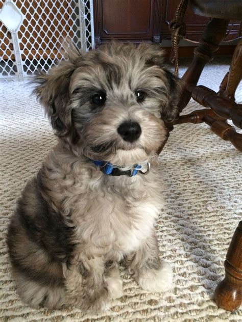 small non shedding dogs blue merle schnoodle puppy hypoallergenic non shed
