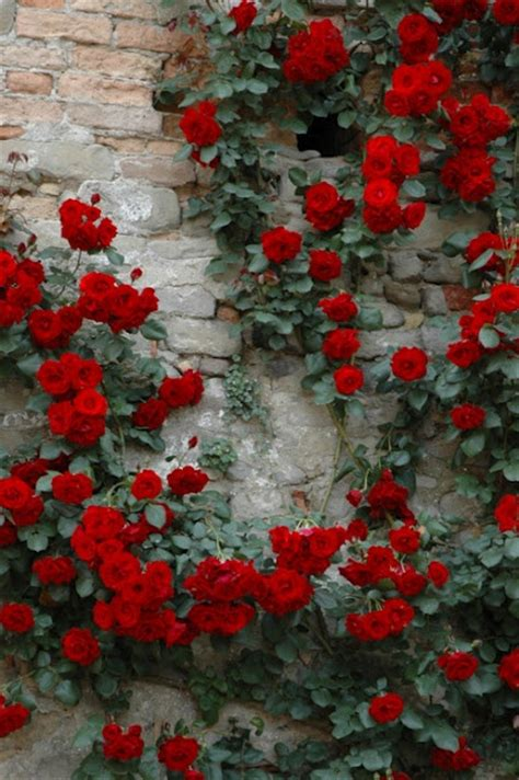 Lovely Red Climbing Roses On Brick Wall  Au Natural