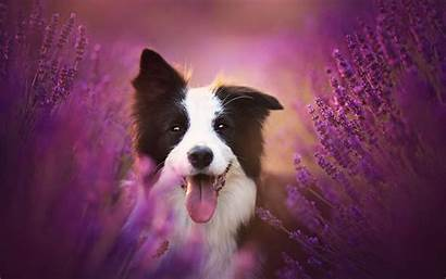Border Collie Dog Lavender Aromaterapia Dogs Animales