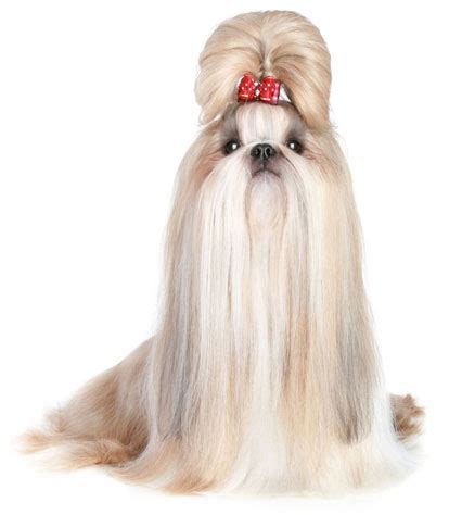 List Of Dogs That Shed Very Little by Shih Tzu