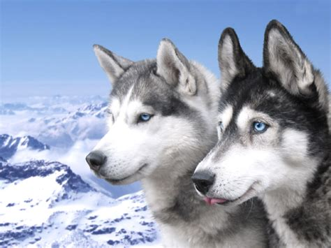 siberian husky dogs   mountains photo  wallpaper