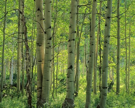 Aspen Tree Forest Wall Mural  Colorado Wall Mural. Ethereum Logo. Spot Signs. Side Panel Decals. Kozhi Logo. Marilyn Decals. British Signs Of Stroke. Do Re Mi Signs. Die Cut Signs