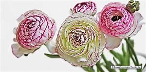Gelbe Rose Bedeutung : blaue rosen bedeutung brautstrau farben und ihre bedeutung bei weien rosen wird zudem unschuld ~ Whattoseeinmadrid.com Haus und Dekorationen