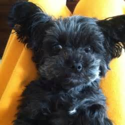 haircuts for yorkie poo dogs dog breeds picture