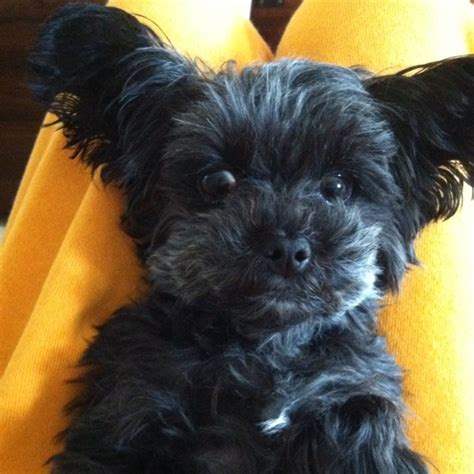 do yorkie poos bark a lot haircuts for yorkie poo dogs breeds picture