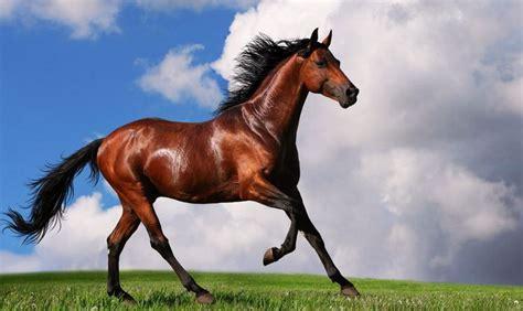 horse expensive most breeds arabian horses famous trendrr