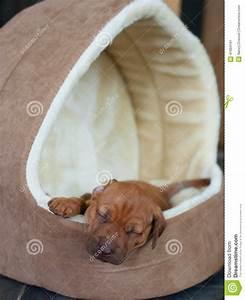 stock photo rhodesian ridgeback puppy dog house african lying inside cute little sleeping its head over image