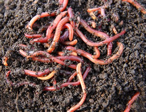 wigglers vs wiggler earthworm worm during surface