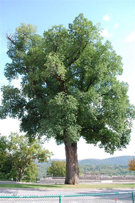 filelarge english elm  west point ny  sep jpg wikimedia commons