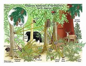 Temperate Rainforest Food Web