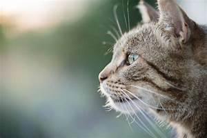 Cat Owners U0026 39  Guide To Feline Immunodeficiency Virus