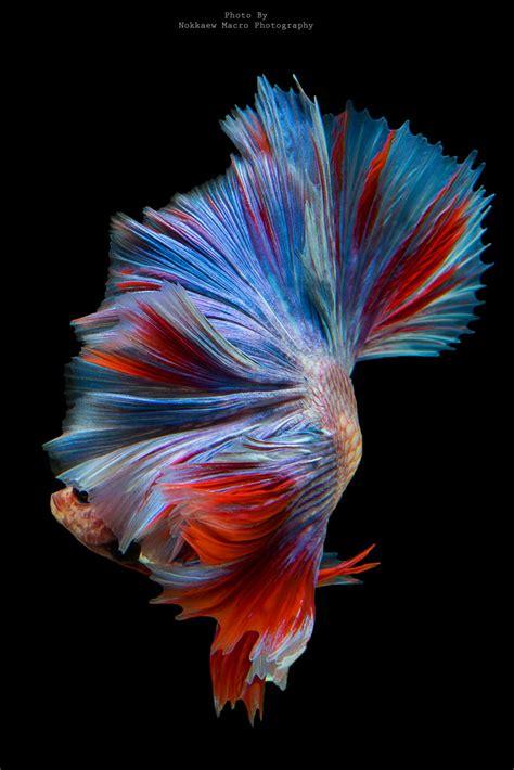 hd wallpaper iphone ikan cupang bergerak