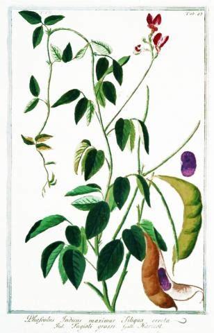 phaseolus vulgaris knowpulse