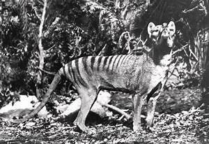 Tasmanian Tiger Sightings Recent