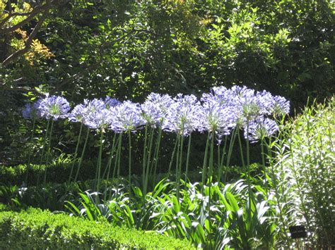 landscaping with agapanthus maintenance and development chauncey gardens