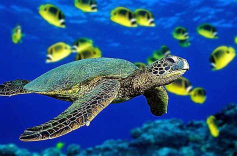 animal turtle wallpapers hd desktop background wallpaper
